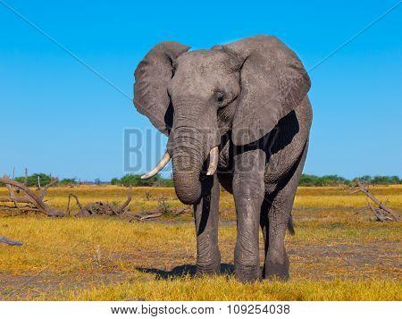 Big african elephant