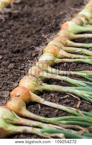 Crop Of Onion On The Ground.