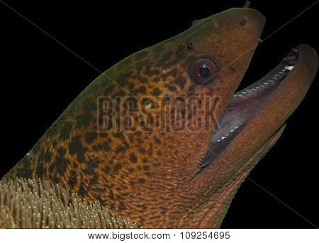 Moray Eel Head Isolated On Black