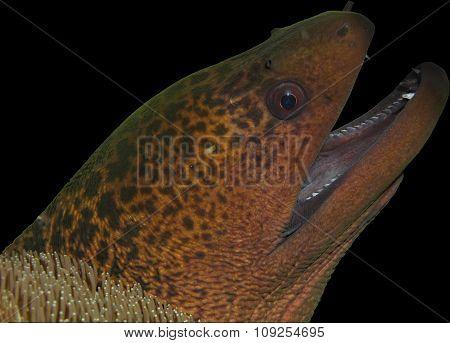 Moray Eel Head Isolated On Black