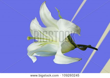 The Big White Lily