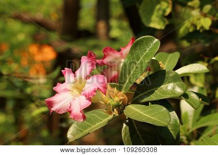 Impala Lily Adenium - Pink Flowers At The Garden