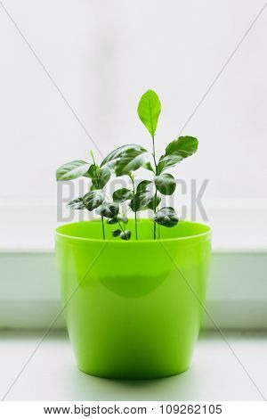 young lemons in a green pot