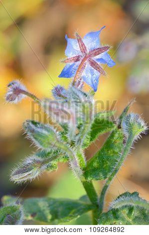 Starflower (borago Officinalis) Blossom