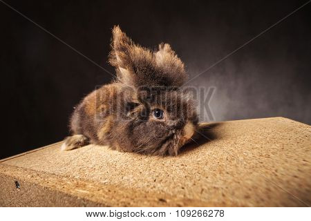 Furry lion head rabbit bunny lying on a wood box, side view.