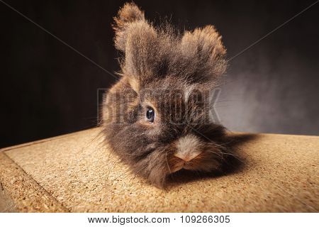 Front view of a furry lion head rabbit bunny lying on a wood box.
