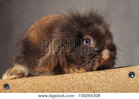 Cute lion head rabbit bunny lying on a wood box, side view.