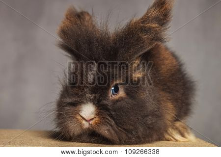 Adorable lion head rabbit bunny lying on wood box, looking at the camera.