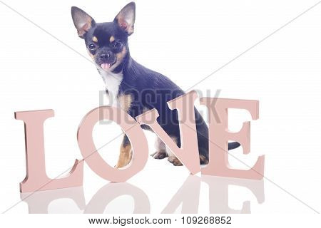 Cute Chihuahua Dog With Love Leteers For Valentine Card