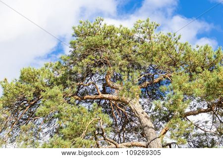Evergreen or Pine Tree in Blue Sky with Clouds