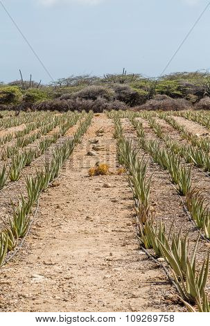 Aloe Plants In Row