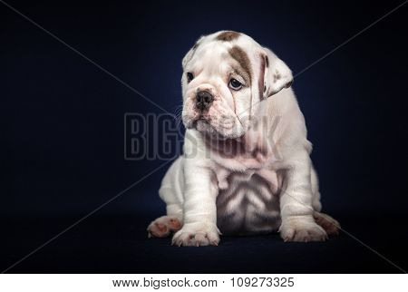 ENGLISH Bulldog puppy on dark background