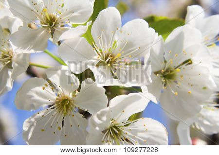 Spring time bloom. Cherry tree branch blooming