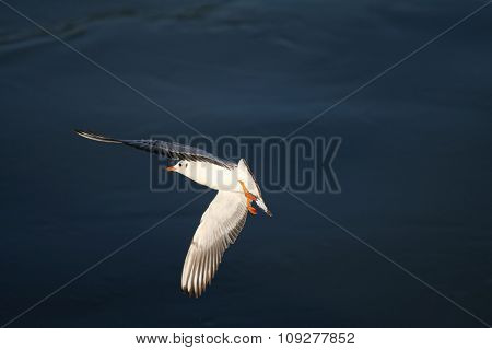 Flying seagull and blue water. Seagull above the ocean