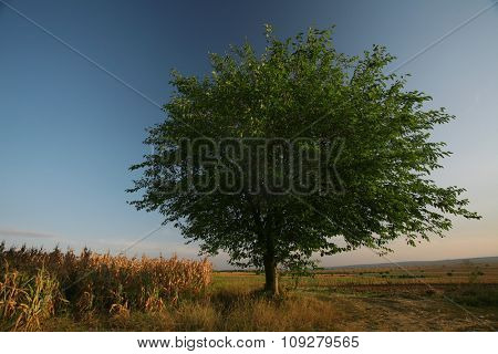 a lone green tree with a crop field and summer yellow meadow