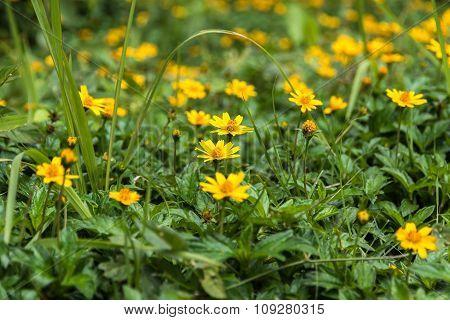 Yellow Camomiles,climbing Wedelia