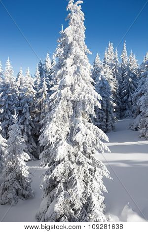 Snow covered trees in winter. Vertical photo in national park