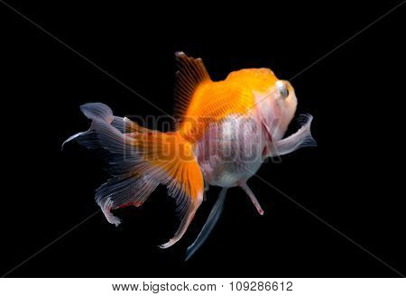 The back view of Gold fish