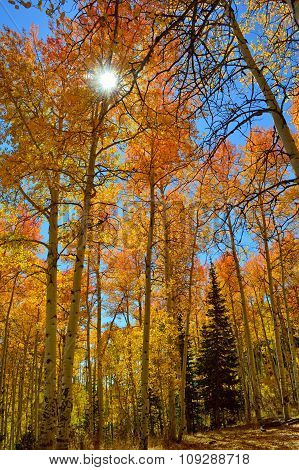 Sun Shining Through Yellow Aspen Trees