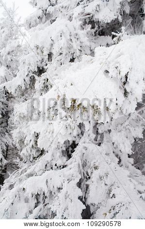 Ice Covered Pine
