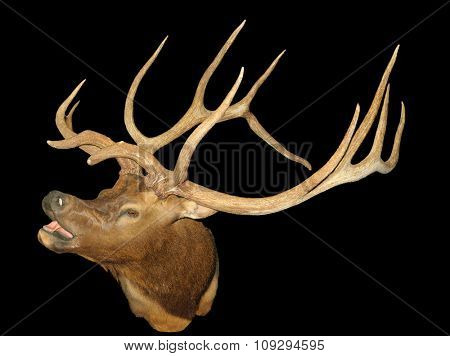 Taxidermy mount of Bugling Elk (Wapiti), isolated over black