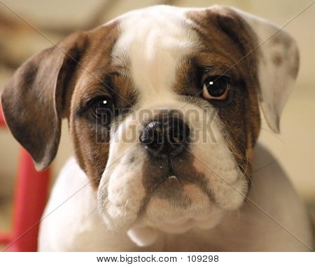 Bull Dog Puppy Face