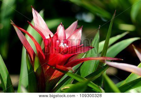 Urn Plant Or Bromeliad.