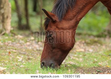 grazing chestnut pony