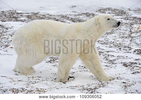 The Adult Male  Polar Bear (ursus Maritimus)  Walking On Snow.