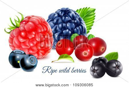 Ripe wild forest berries. Vector illustration.