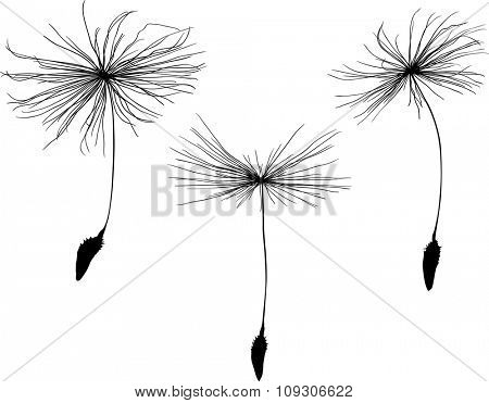 illustration with three dandelion seeds silhouette isolated on white background