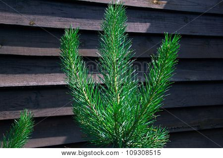 Twig Of A Green Spruce On A Wooden Fence