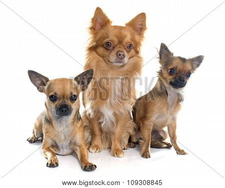 Chihuahuas In Studio