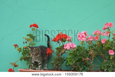 Young kitty walking in the geranium flowers