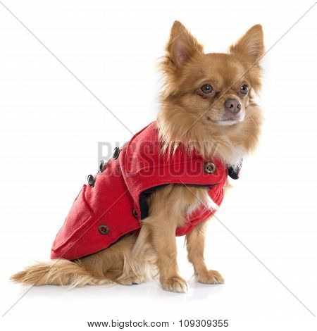 Dressed Chihuahua In Studio