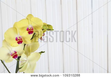 Yellow orchid flowers on wooden background