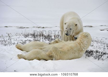 The Adult Male  Polar Bear (ursus Maritimus)