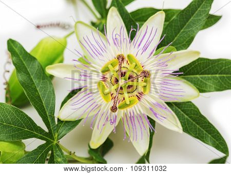 Passionflower. Isolated on white background