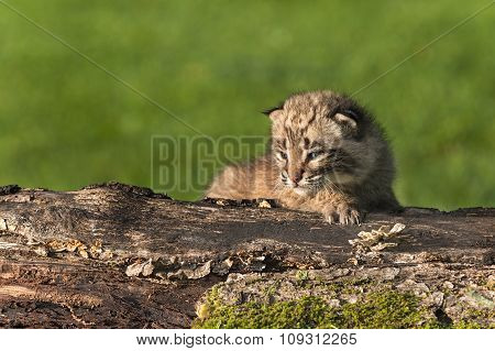 Baby Bobcat (lynx Rufus) Sits On Log Looking Left