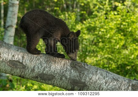 Black Bear Cub (ursus Americanus) Sniffs Branch