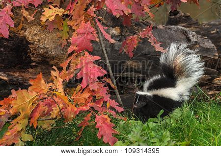 Striped Skunk (mephitis Mephitis) By Autumn Leaves And Log