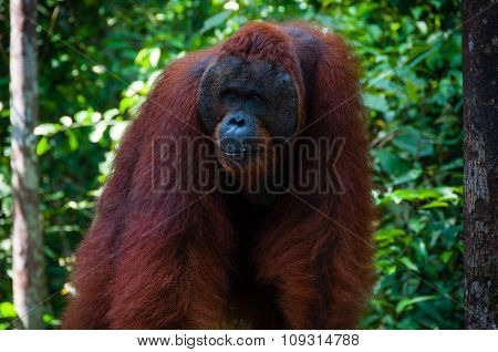 Orang Utan alpha male standing in Borneo Indonesia