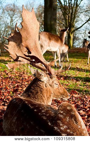 Whitetail Deer In Fallen Leaves