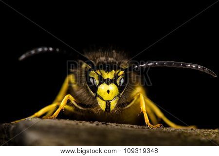 Common wasp head-on against black