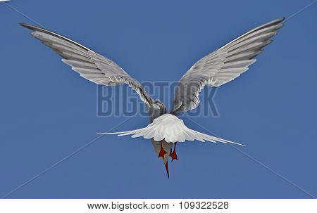 Common Tern ( Sterna Hirundo ) On Bright Blue Sky Background;