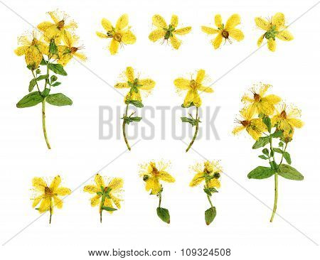 Set Of Pressed And Dried Flowers Hypericum Perforatum
