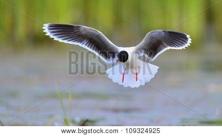 The Little Gull (larus Minutus) In Flight