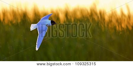 The Little Gull (larus Minutus) In Flight In Flight On The Sunset Grass Background.
