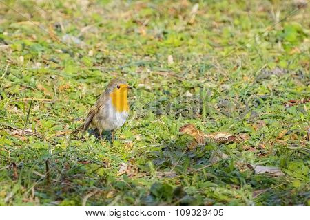 An European Robin