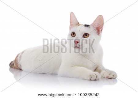 White Domestic Cat With Yellow Eyes